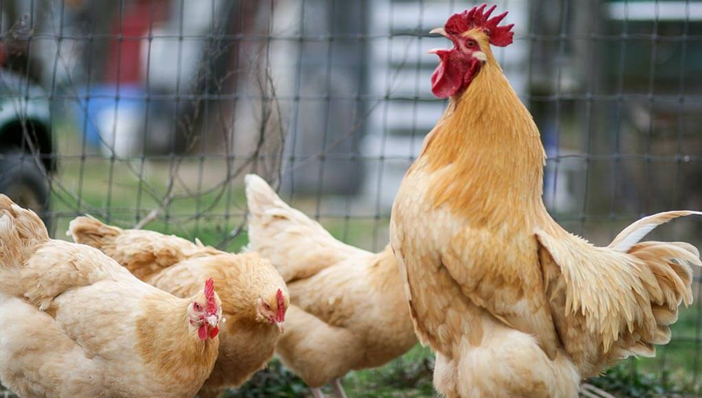The Origins of Buff Orpington Chickens