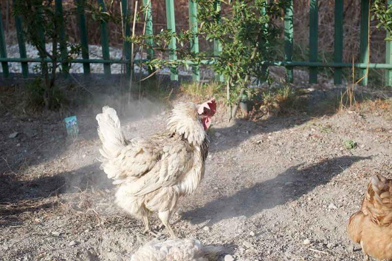 Diatomaceous Earth For Chickens   Why and How To Use Properly