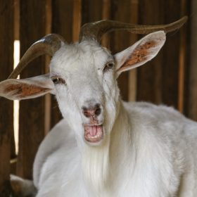 Funny Goat Fun Fact And Story