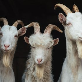 What are Goat Horns?
