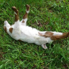 Is it harmful to a fainting goat to make them faint