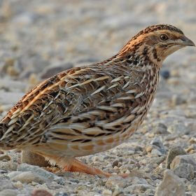Common Mistake Before Buying Quails