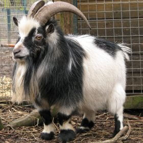Which is smaller pygmy or Nigerian goat?