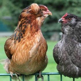 Everything You Need To Know About Araucana Chickens