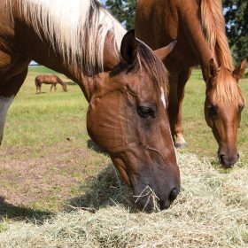 Does Bermuda Hay Grass Cause Colic | For Chicken Farm