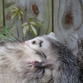Do Possums Eat Chickens? Here's How to Protect Your Poultry