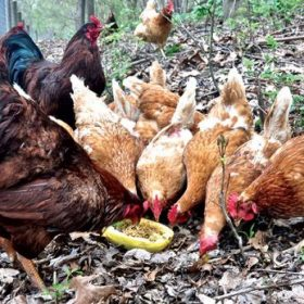 can chickens eat pumpkin | Pumpkin Season for your chickens too?