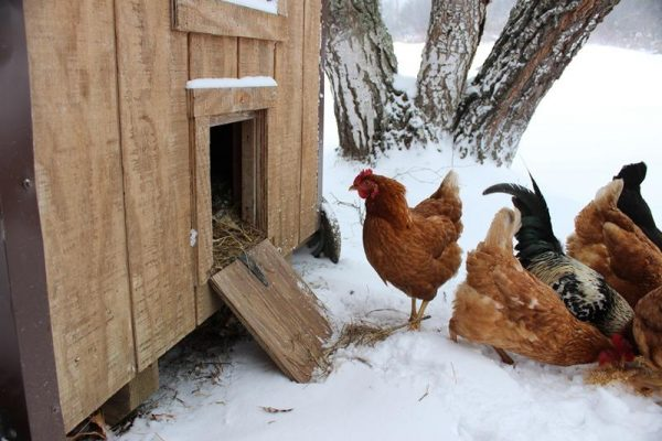 how to keep chickens warm in winter