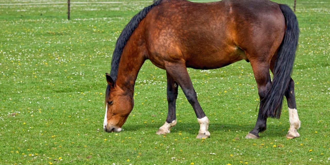 overweight horses