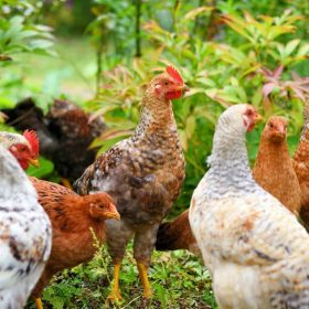 Raising Pheasants vs Chickens For Profit on Your Homestead